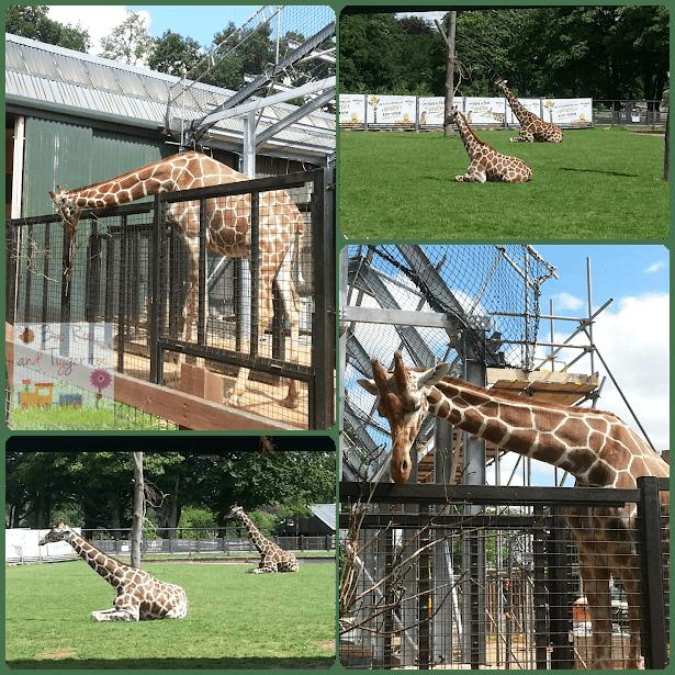 ZSL Whipsnade Zoo - Giraffes