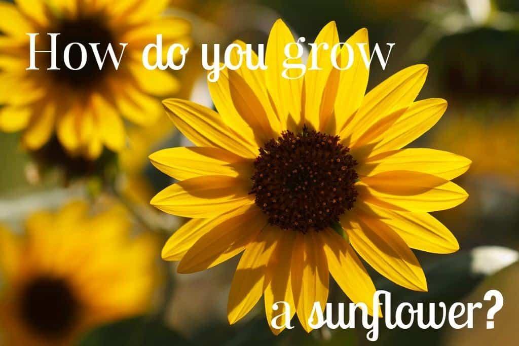 How do you grow a sunflower?