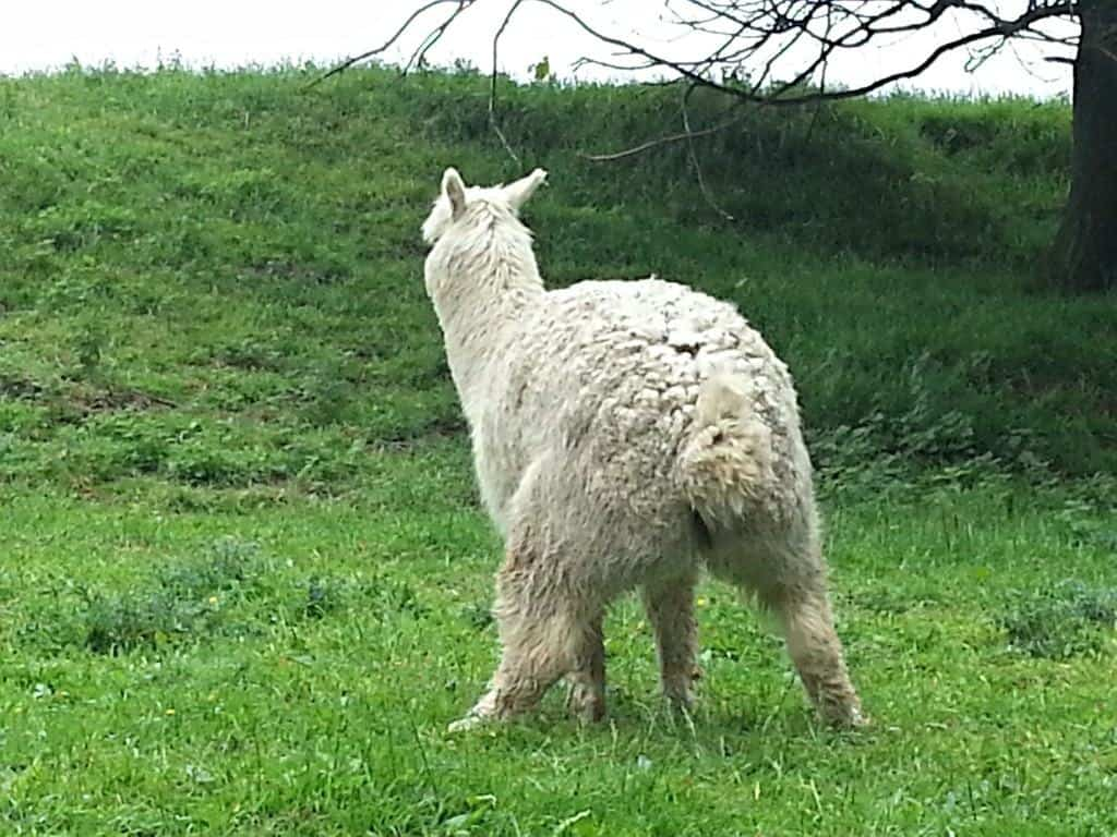 SatCap - Jimmy's Farm Alpaca