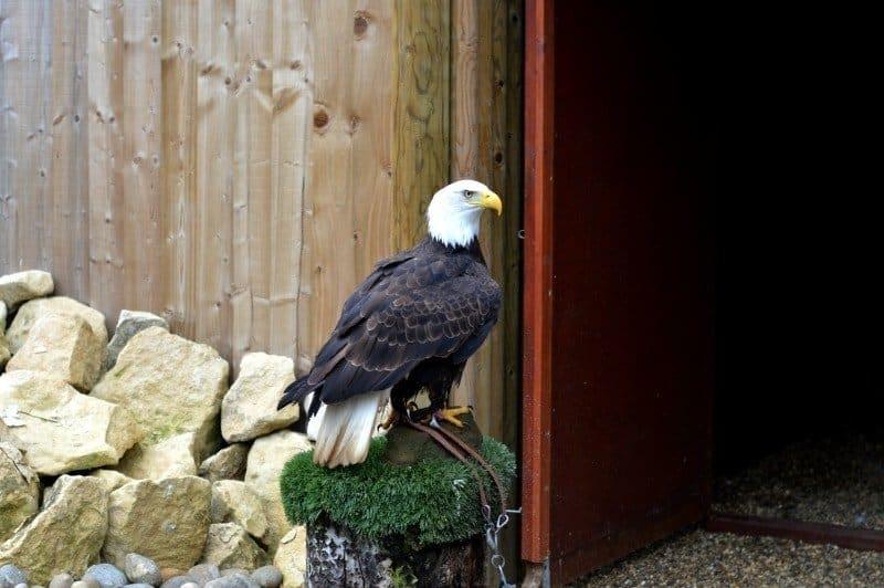 Banham Zoo - Bald Eagle