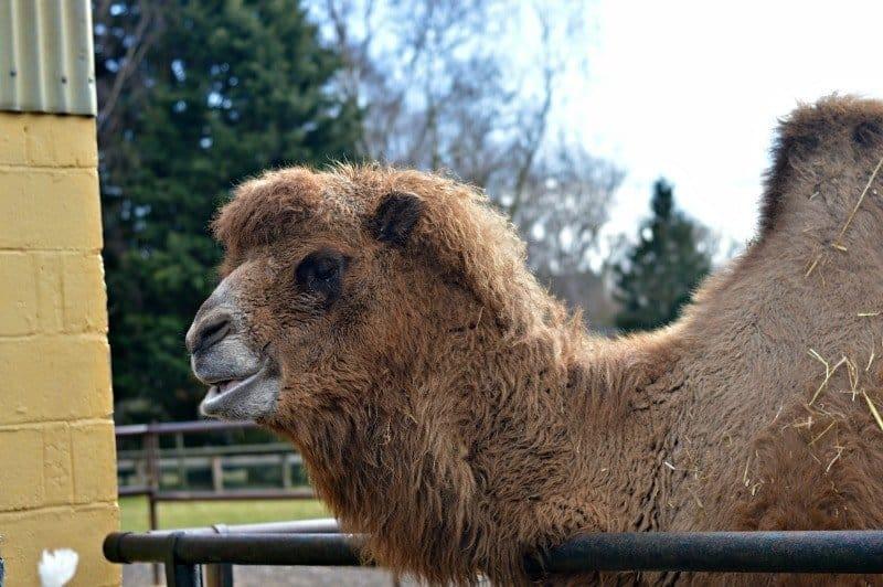Banham Zoo - Camels