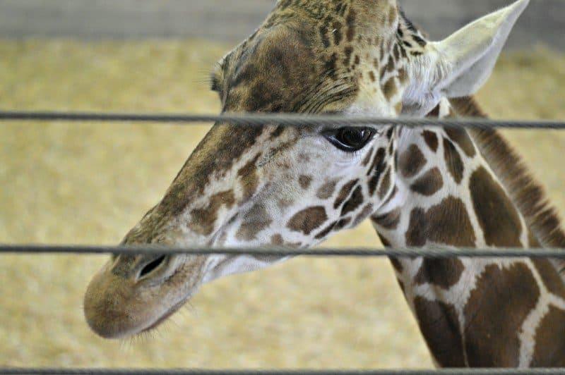 Banham Zoo - Giraffes