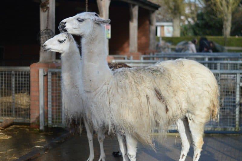 Banham Zoo - Llamas