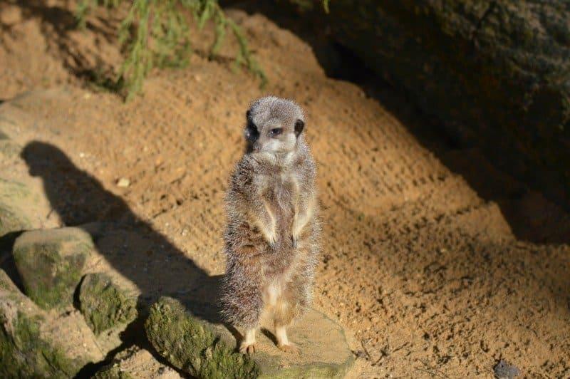 Banham Zoo - Meerkat
