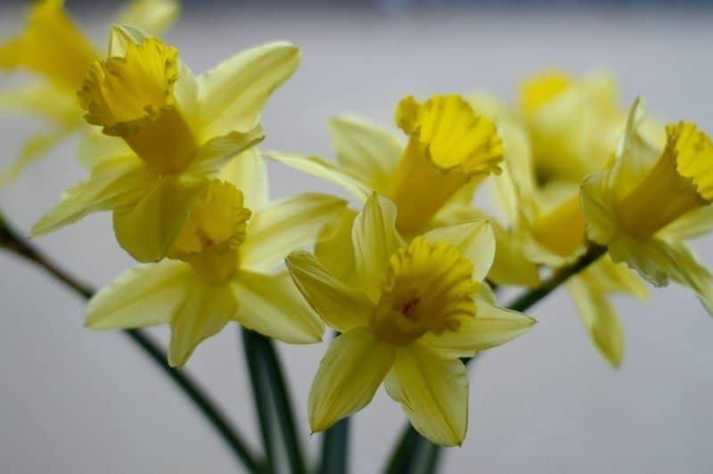 Silent Sunday - St David's Day