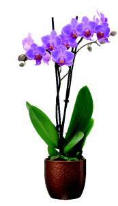 B&Q Orchid £5