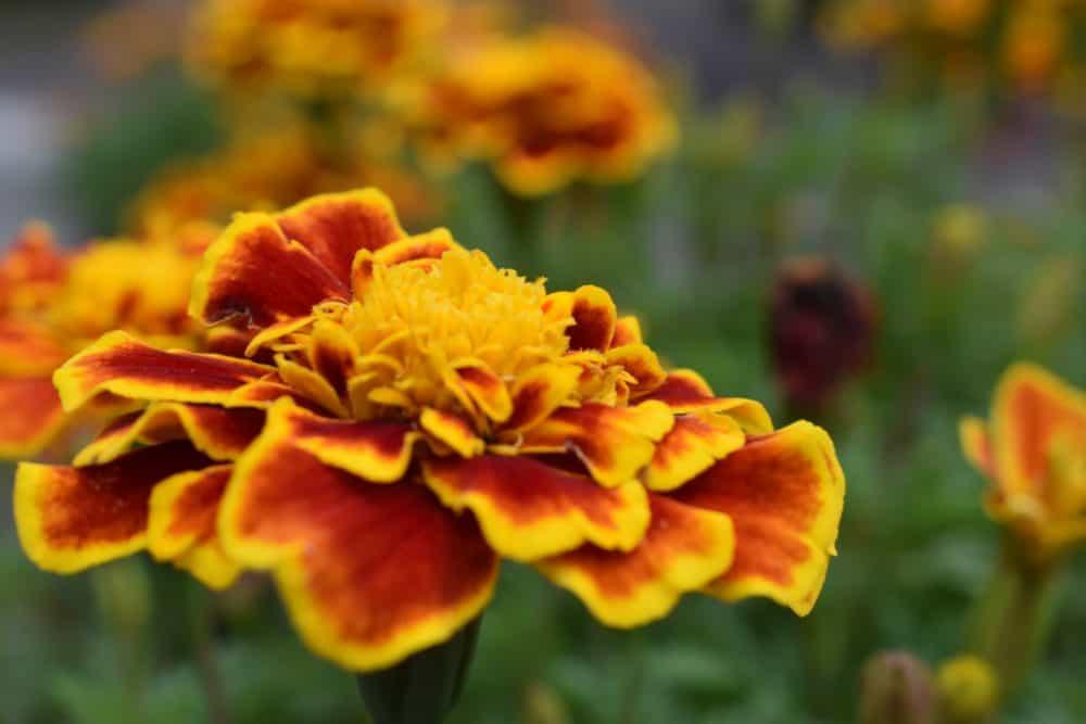 Red orange yellow marigold flower in autumn