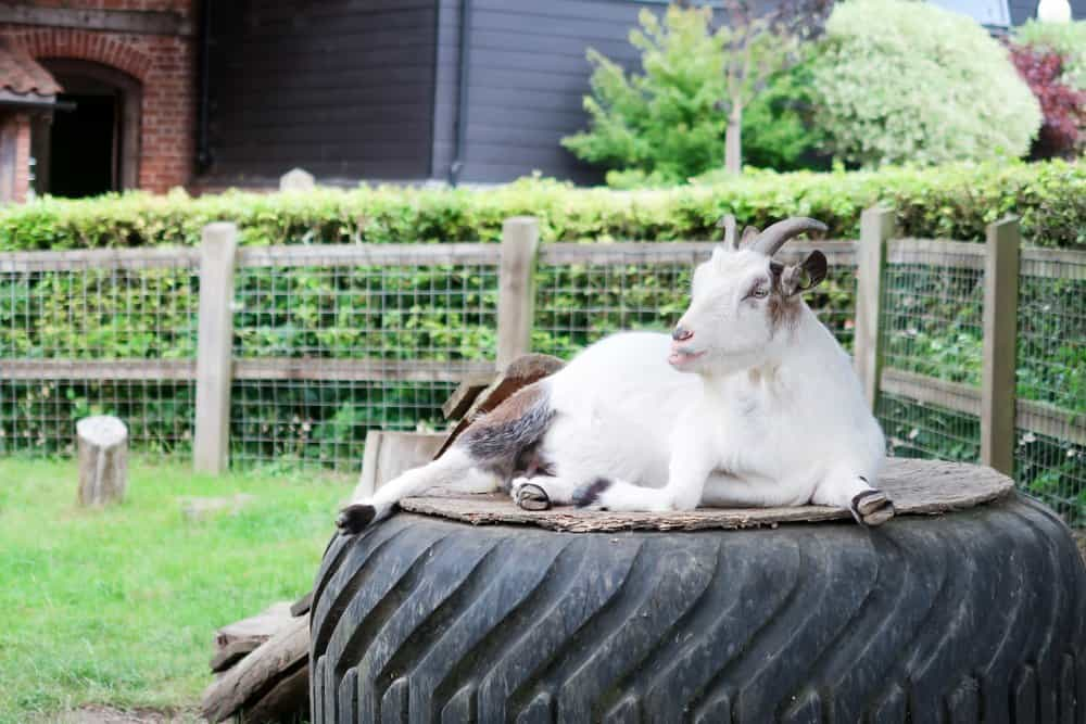 Goat sitting on an old tractor tyre